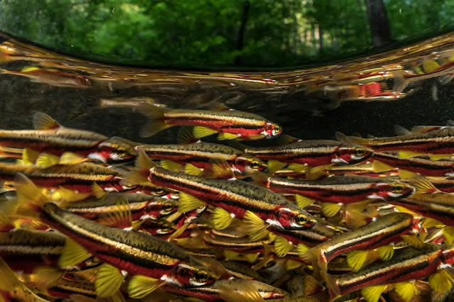 Picture of Tennessee Dace