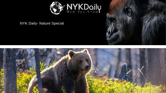 gorillavsbear_nykdaily