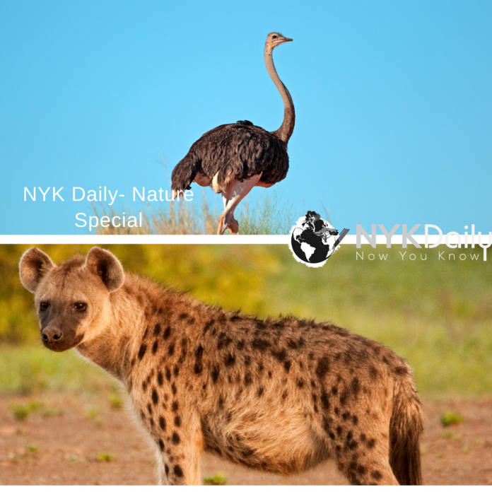 Ostrich Vs Hyena