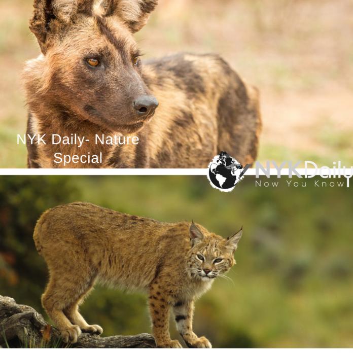 BobCat-Wilddog