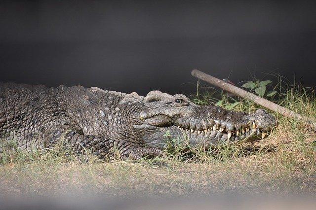crocodile-cunning-lies-liar-lie