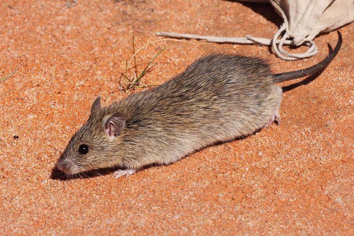 Rat - mouse - Mice