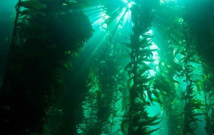 Kelp Forest/Kelp Forests