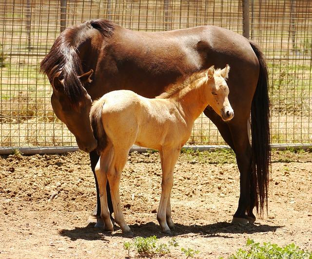 Foal Horse Australia Brown Horse
