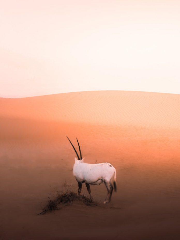 white antelope from genus of oryx in desert